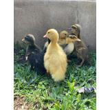 Patos Bebes Pekin Y Marruecos