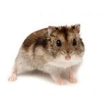 Hamster Ruso Topo Enano Pequeño Roedor
