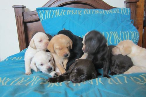 Cachorros Labrador Retriever Retriver Perritos Cachorritos