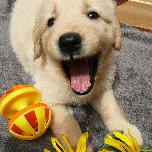Cachorro Golden Retriever Color Dorado De 55 Dias Puro
