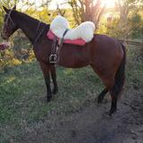 Yegua Spc Jugando Prácticas Nació 2011 Con Papeles