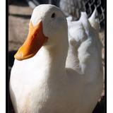 Patos Pekin Raza Pura Excelente Genetica !!