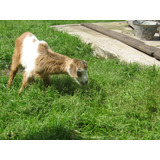 Chivito,cabra Cabritos Cachorro Para Mascota