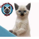 Bebes Gatos Siameses