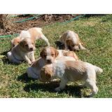 Cachorros Bretones Inscritos