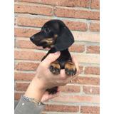 Preciosos Cachorros Salchichas Dachshund Mini
