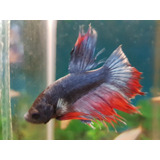 Peces Bettas Machos Splendens * Acuario Tropical *