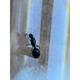 Hormiga Reina Solenopsis (probablemente Patagonica)