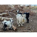 Cabras Miniatura Macho Y Hembra