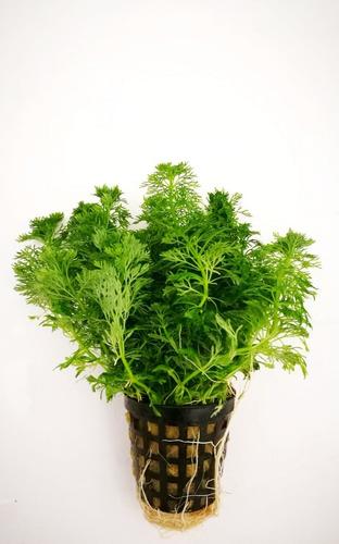 Ambulia Planta Acuario Natural