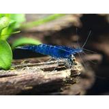 Gambas Camarones  Azul Neocaridinas