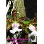 Orquidea Cattleya Aclandiae Albescens ( Muda ) Exótica Original