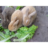 Conejitos Criados En Ambiente Familiar Para Mascota