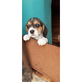 Cachorros Beagle Tricolor (seña)