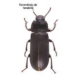 Escarabajo De Tenebrio X 12  Unidades.