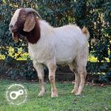 Cabra Boer Macho Chivo Excelente Genetica