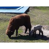 Ovejas Ovinos Mascotas Corderos Madre E Hijo