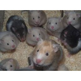 Hamster Golden Variados Colores