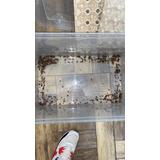Cucarachas Dubias Alimento Vivo Reptiles