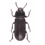 Escarabajo De Tenebrio X 5 Unidades