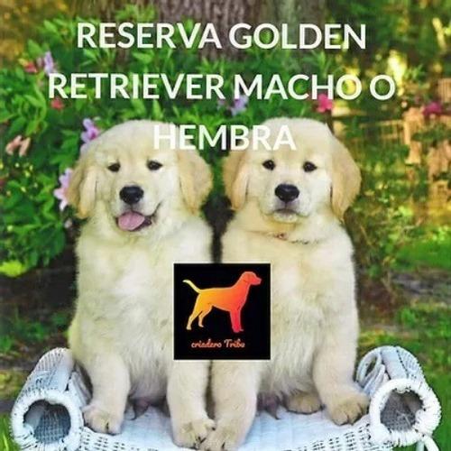 Reserva Cachorros Golden 100% Puros. Hay Machos Y Hembras