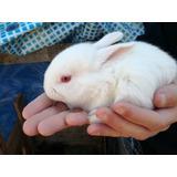 Venta De Conejos Criollos
