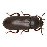 10 Unidades ! Escarabajos De Tenebrios Reproductores !
