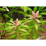 Planta Natural Para Acuario Hygrophila P. Rosanervig X 5
