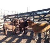 Vendo Caballos Y Yeguas Pony Desde 80 De Alzada