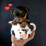 Cachorro Mini Yorkshire Macho