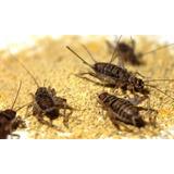 Grillos Medianos X 20 Alimento Vivo Hormigas Reptiles