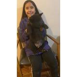 Cachorros  Akita Da De Padres Inscritos Entrega Inmediata