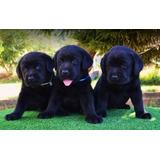 Cachorros Labradores Negros !
