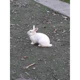 Conejo Gazapos Criadero Mascota Varias Razas Macho Hembra