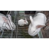 Conejos  Bebes Neozelandés