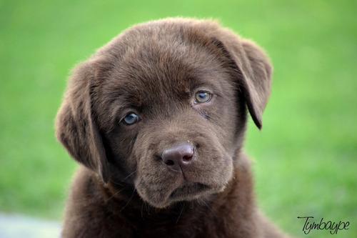 Cachorros De Labrador Retriever, Criadero Tymbaype