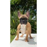 Bulldog Frances Rojo Ciervo