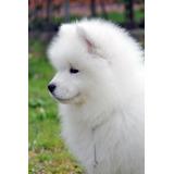 Samoyedo Reserva Cachorro Primave2020  Calidad +pedigrí + Ga