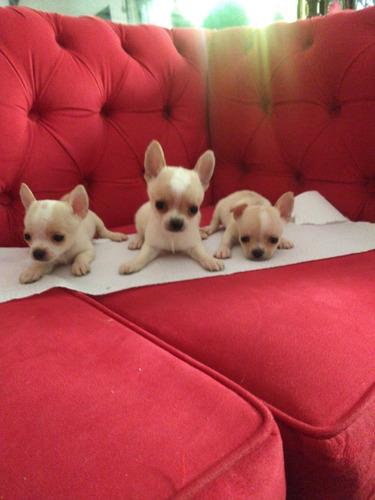 Chihuahua Minis Criadero Costa Azul