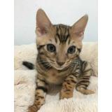 Gato Bengal Gatita Bengali Brown Spotted Sangre Importada