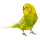 Cotorrita Australiana Periquitos Colores Nacidas En Criadero