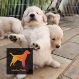 Cachorros Golden Puros Y Hermosos - Criadero Tribu