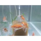 Peces De Agua Fría Gold Fish X 4 Carassius Capital Federal