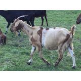 Cabras Anglonubian- Saanen
