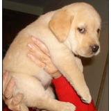 Hermosos Labradores!!!