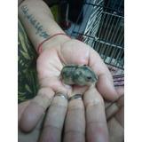 Hamster Rusos Bebes