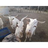 Cabras Lecheras En San Luis