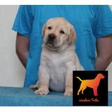 Cachorros Labrador Criadero Premium. Libreta Real