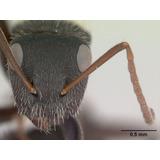 Hormiga Reina - Camponotus Mus - Fecundada