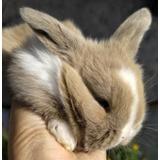 Conejo Holand Lop Ojos Celestes